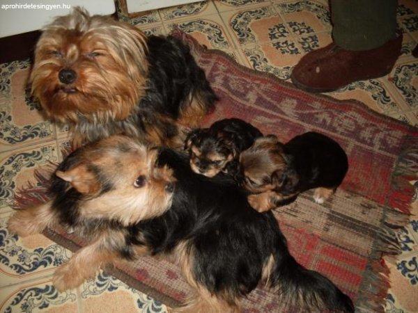 Yorkshire Terrier Kiskutya Elado Elado Yorkshire Terrier