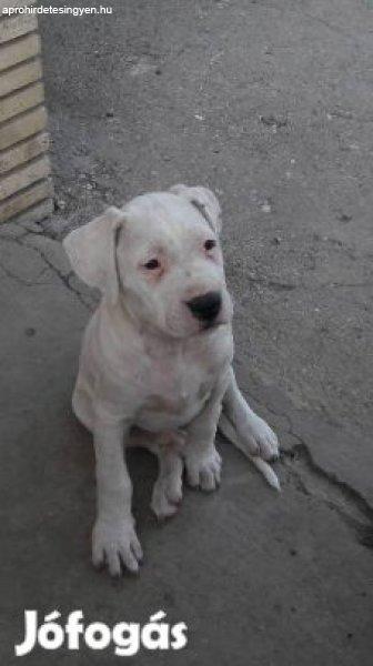 Argentin+Dog+kiskuty%E1k+elad%F3k%21