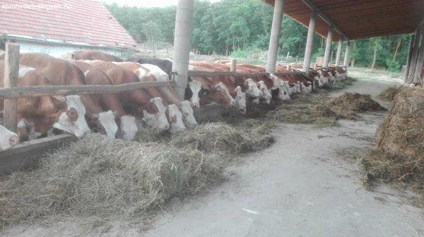 állatgondozói álláa szarvasmarhához