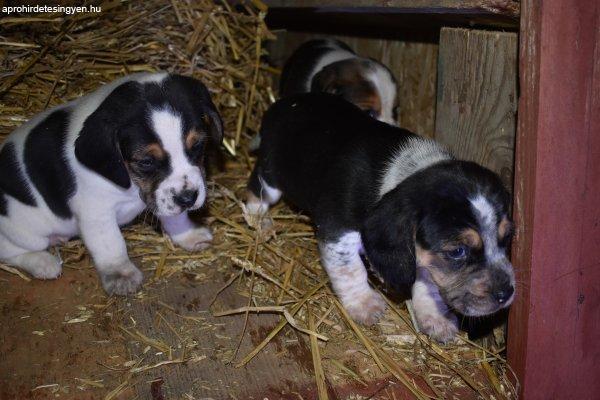 Beagle+kis+kutyus