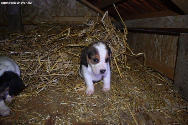 Beagle+kis+kutya