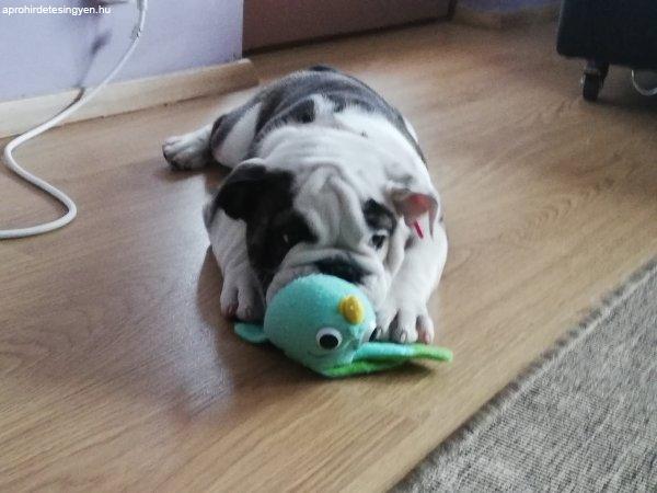 Angol+Bulldog
