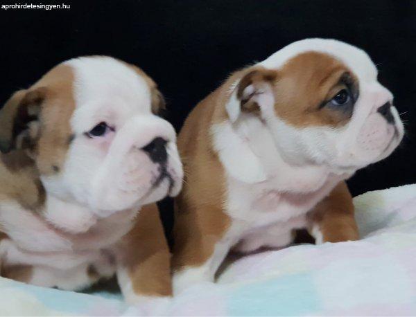 Angol+bulldog+kiskuty%E1k