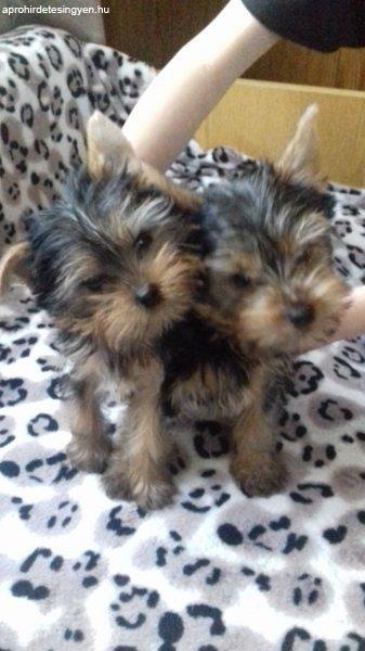 Yorkshire terrier kiskuyák