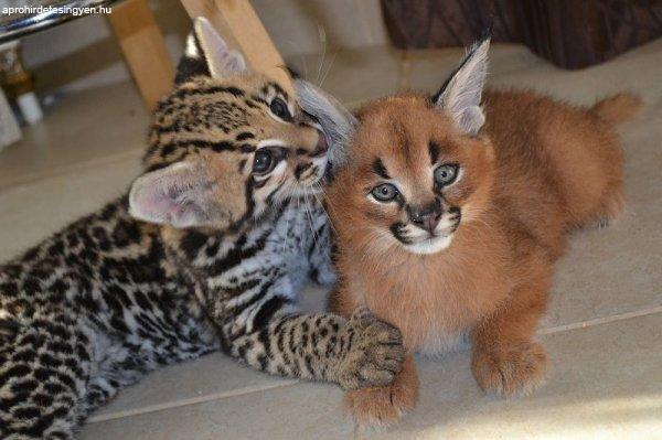 szerval, savannah, caracal és Ocelot cica