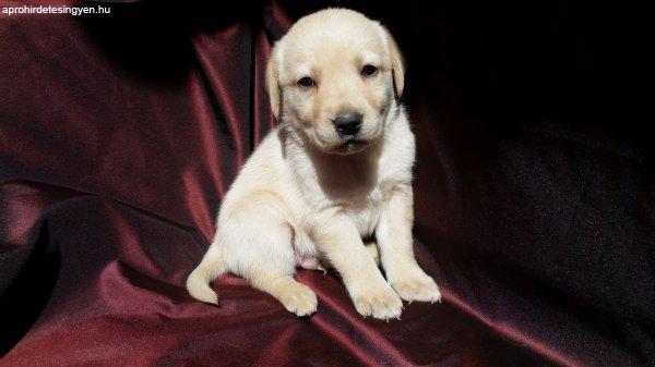 Gyönyörű szép fajtiszta labrador kutyusok eladóak!