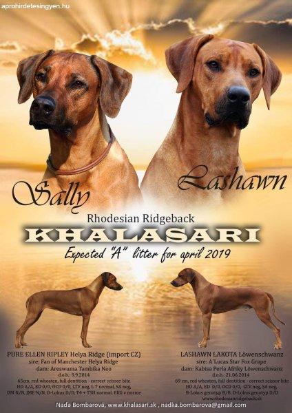 Rhodesian Ridgeback kölyök kutyák eladók
