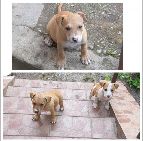 Eladó Amerika Staffordshire Terrier kölykök