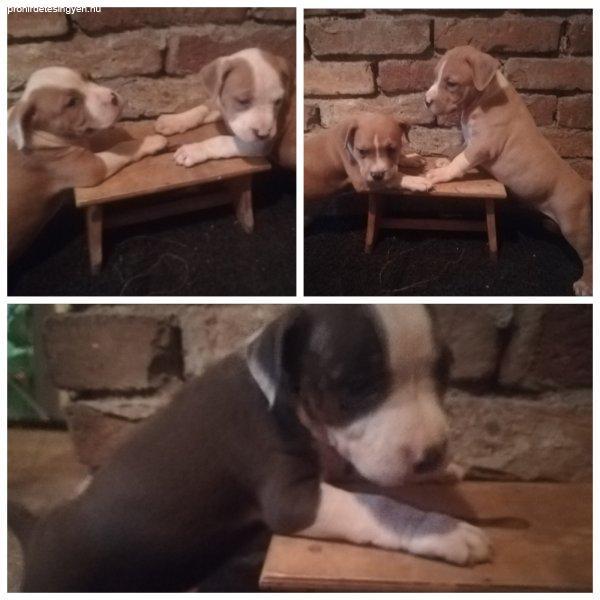 Pitbull kiskutyák