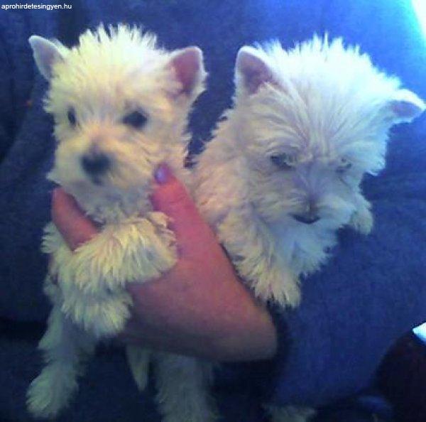 West Highland White terrier /westie/ kölykök eladók