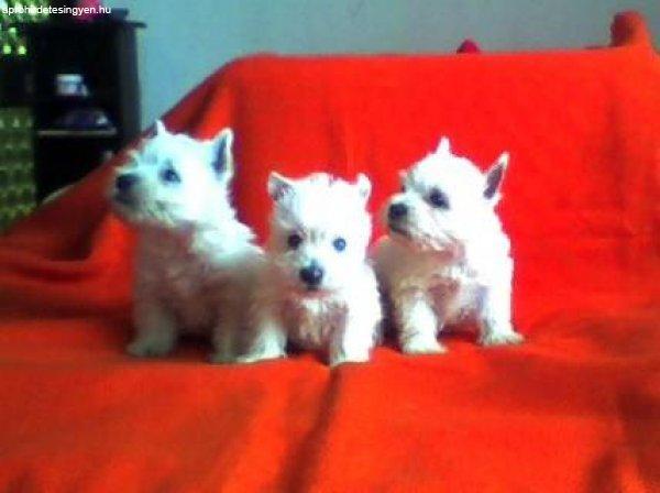West+Highland+White+terrier+%2Fwestie%2F+k%F6lyk%F6k+elad%F3k