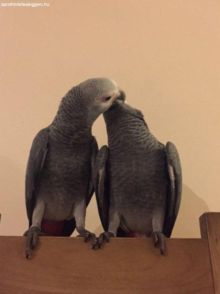 Szép afrikai szürke papagájok