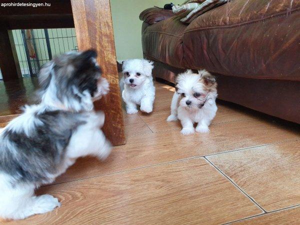 Shih Tzu származású kiskutyák kaphatók