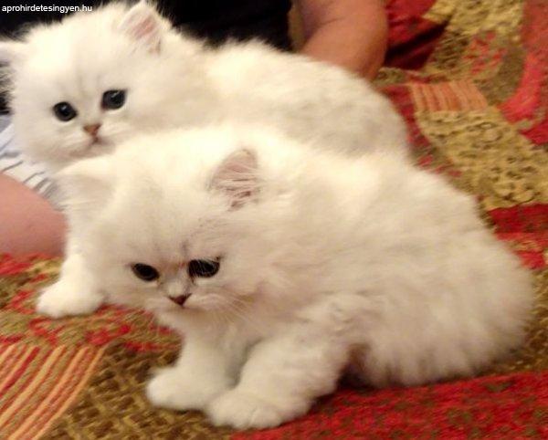 Gyönyörű perzsa cica eladó