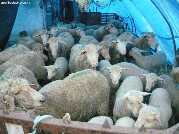 48 anya birka, 1 kos sürgősen eladó