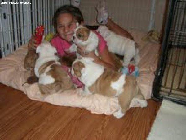 Angol bulldog kölyökkutyák örökbefogadásra